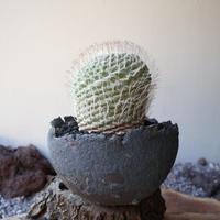 ストロンボカクタス  ディシフォルミス   菊水  自根  no.006   Strombocactus disciformis
