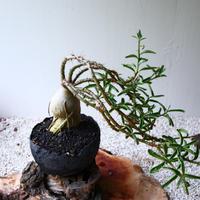 パキポディウム  サキュレンタム    no.010  Pachypodium succulentum
