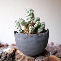 オルテゴカクタス マクドガリー  no.002  Ortegocactus macdougallii