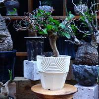 コミフォラ  ワイティ/Commiphora wightii   no.72551