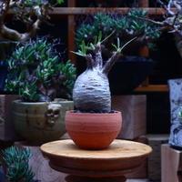 パキポディウム  グラキリス/Pachypodium  gracilius       no.53005