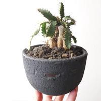 ユーフォルビア ステラータ   no.007    Euphorbia stellata