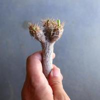 ユーフォルビア   ギラウミニアナ  Euphorbia guillauminiana  no.100606