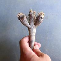 ユーフォルビア   ギラウミニアナ  Euphorbia guillauminiana  no.100605