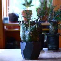 アデニア  グロボーサ      Adenia globosa       no.81652
