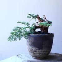 ペラルゴニウム  トリステ    Pelargonium triste   no.11905