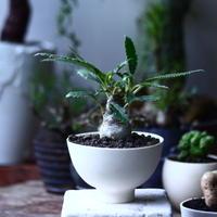 ドルステニア クリスパ    Dorstenia crispa  no.71933