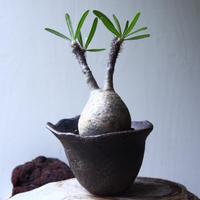パキポディウム グラキリス Pachypodium rosulatum var. gracilius no.71410