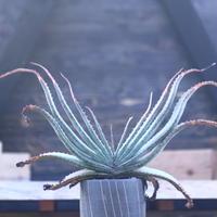 アロエ スプラフォリアータ     Aloe suprafoliata     no.22801
