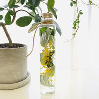 mimosa herbarium