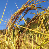 自然栽培(無農薬・無肥料) 古代紅米1kg [自然農縁 月とたね] made in 岐阜県