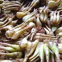【期間限定】自然農ラッキョウ1kg  [BIG FAMILY FARM] made in 佐賀県