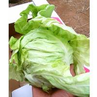 【期間限定】手乗りミニ春キャベツ   [SHO FARM] made in 神奈川県