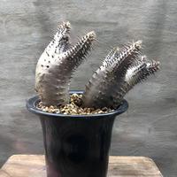 パキポディウム  マカイエンセ 40 塊根植物 コーデックス