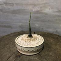 アデニア グラウカ  31 塊根植物 コーデックス
