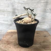 ユーフォルビア アンボボンベンシス 塊根植物 コーデックス 塊根植物 コーデックス