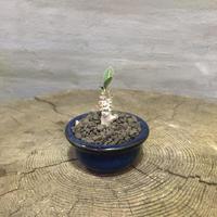 パキポディウム  デンシフローラム 10 実生 塊根植物 コーデックス