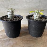 パキポディウム ブレビカウレ 恵比寿笑 白花 実生株  3〜4 塊根植物 コーデックス 送料着払い