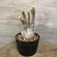 パキポディウム グラキリス 365 塊根植物 コーデックス 現地球