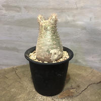 パキポディウム グラキリス  360 塊根植物 コーデックス 現地球