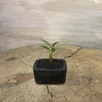 パキポディウム  バロニー 実生株  塊根植物 コーデックス