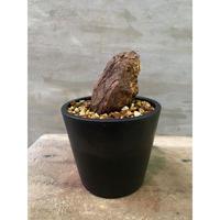発送着払 ペラルゴニウム ブルヴェルレンツム 塊根植物 コーデックス 南アフリカ