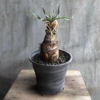 ブーファン ディスティチャ10 ケープバルブ 球根植物 多肉植物 塊根植物 コーデックス