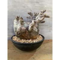 パキポディウム グラキリス 50番 塊根植物 コーデックス 現地球