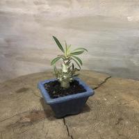 パキポディウム  デンシフローラム 3 実生株  塊根植物 コーデックス