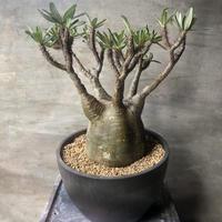 パキポディウム グラキリス 450  塊根植物 コーデックス マダガスカル現地球