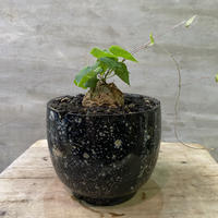 ディオスコレア エレファンティペス 亀甲竜  実生株 Mサイズ 塊根植物 コーデックス  送料着払い