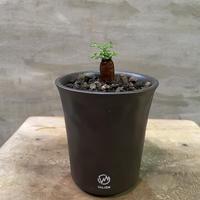 発送着払い VALIEM オペルクリカリア パキプス根挿し 2 塊根植物 コーデックス