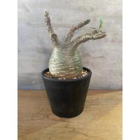 パキポディウム グラキリス  61番 塊根植物 コーデックス マダガスカル現地球