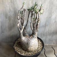パキポディウム グラキリス 710 塊根植物 コーデックス マダガスカル現地球