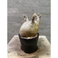 パキポディウム グラキリス 264 塊根植物 コーデックス 現地球 送料着払い