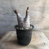 パキポディウム グラキリス 490 多肉植物 塊根植物 コーデックス マダガスカル現地株