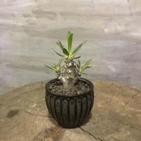 パキポディウム デンシフローラム 実生 塊根植物 コーデックス