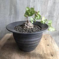 ディオスコレア エレファンティペス 亀甲竜 塊根植物 コーデックス 南アフリカ現地球