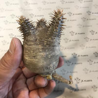 パキポディウム カクチペス 抜き苗 2 多肉植物 塊根植物 コーデックス 現地株