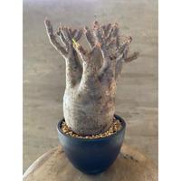 パキポディウム グラキリス 912 塊根植物 コーデックス 現地球 送料着払い