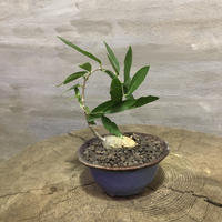 フォッケア エデュリス 火星人 盆栽鉢  2 塊根植物 コーデックス 実生