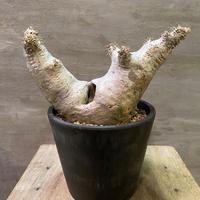 パキホディウム マカイエンセ×ホロンベンセ 11多肉植物 塊根植物 コーデックス  マダガスカル 現地球 発送着払い