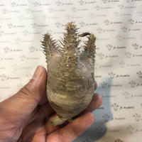 パキポディウム カクチペス 抜き苗 4 多肉植物 塊根植物 コーデックス 現地株