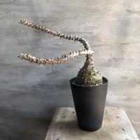 パキポディウム ウィンゾリー 31 塊根植物 コーデックス マダガスカル現地球
