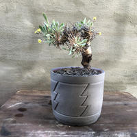 オトンナ ユーフォルビオイデス 黒鬼城 SPUTNIK シリンダー Sサイズ 塊根植物 コーデックス 南アフリカ現地球