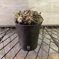 オトンナ レトロルサ 7 valiem 多肉植物 塊根植物 コーデックス  南アフリカ 現地球