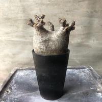 パキポディウム グラキリス 460  塊根植物 コーデックス マダガスカル現地球