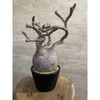 パキポディウム グラキリス 3 塊根植物 コーデックス マダガスカル現地球