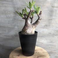 パキポディウム グラキリス  422 塊根植物 コーデックス 現地球