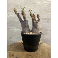 パキホディウム グラキリス 2ヘッド1番 塊根植物 コーデックス マダガスカル現地球